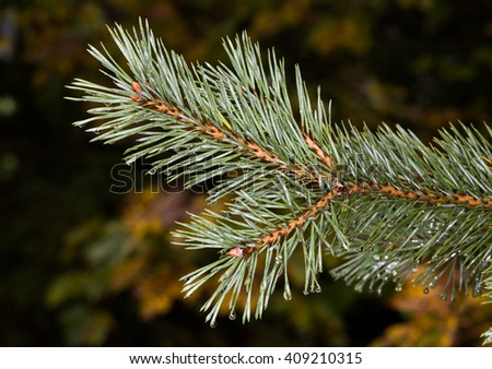 fir, tree, green, spruce, branch, pine, twig, white, lush, background, evergreen, coniferous, beautiful, illustration, pattern, decoration, closeup, natural, fresh, plant, water, rain, wett - stock photo