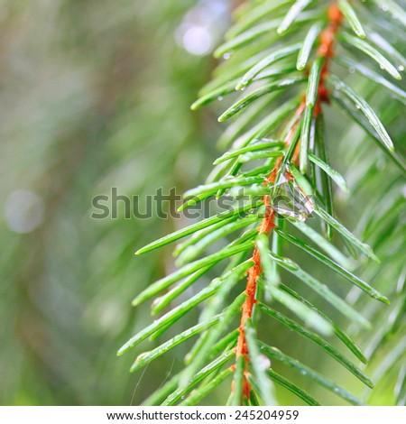 Fir tree in rain - stock photo