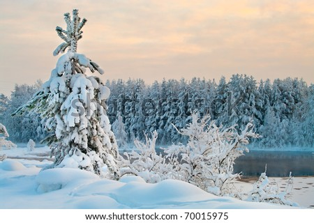 Fir tree in winter forests of Karelia, Russia. Black water and snowy brunches