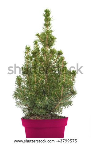 fir-tree isolated on white - stock photo