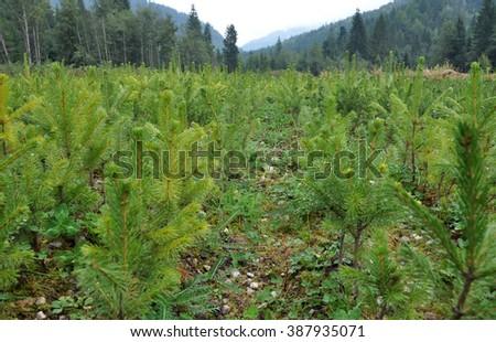 Fir tree nursery, young spruce growing - stock photo
