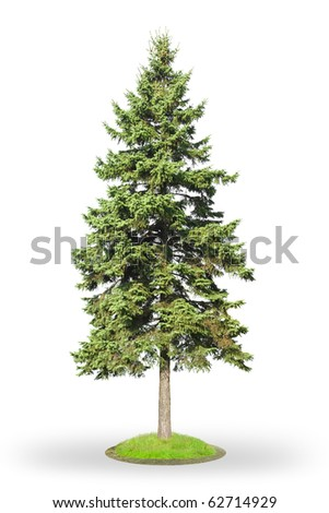 Fir tree (Picea) isolated on white background - stock photo