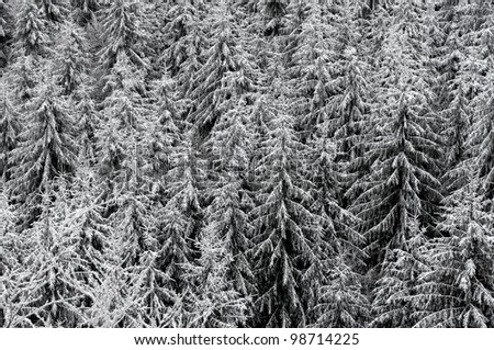 fir tree texture in winter, black and white