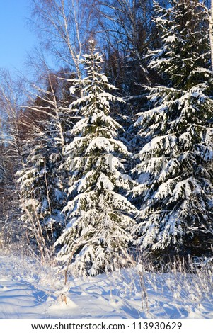fir tree under snow in the forest - stock photo