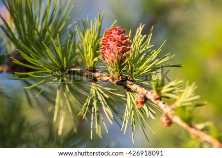 Fir tree young cone. - stock photo