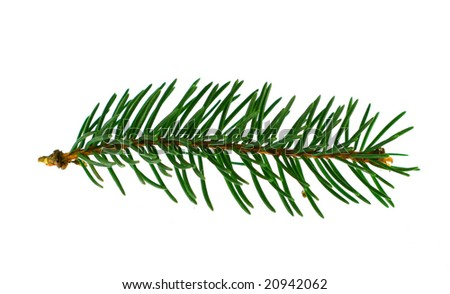 fir-trees branch isolated on white background - stock photo