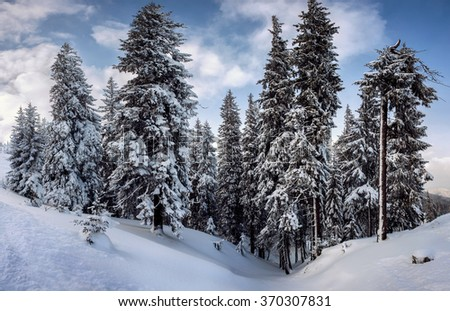 fir-trees covered by snow. natural winter background