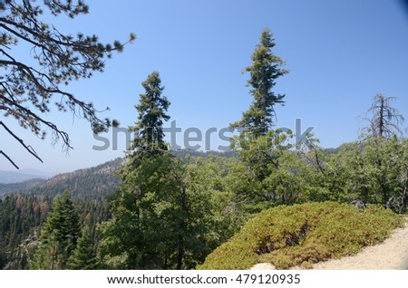 Fir trees in Sequoia National Park