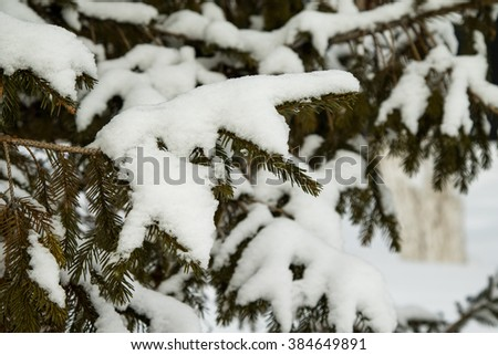 fir trees in the snow, winter landscape