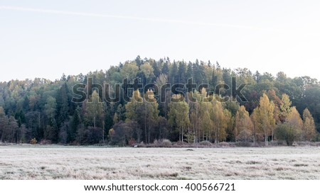 fir trees on a meadow down the will to coniferous forest in foggy forest in latvia