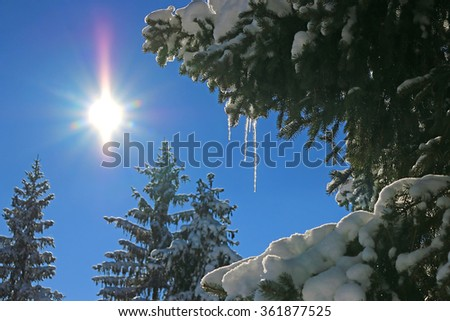 Fir trees with snow and icicles in winter on the mountain - stock photo