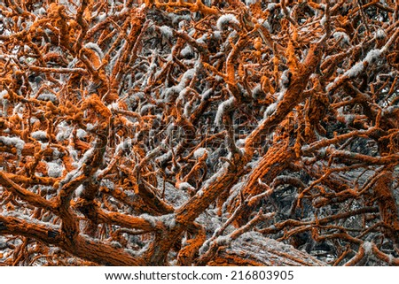 Fire and Ice - Red algae growing on white tree branches - stock photo