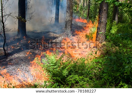 Fire burning in a pine forest . - stock photo