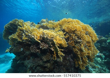 Fire coral (Millepora dichotoma) underwater in the coral reef