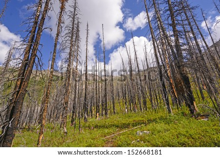 Fire Damage along the Helen lake trail in Banff National Park - stock photo