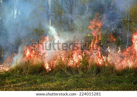 Fire in the birch forest - stock photo
