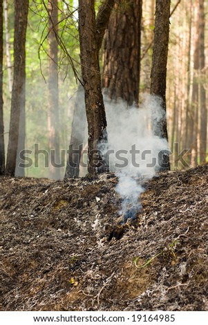 fire in the pine tree forest - stock photo