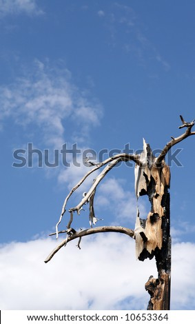 Fire ravaged tree between Devils Postpile and Rainbow Falls at Mammoth Mountain. - stock photo
