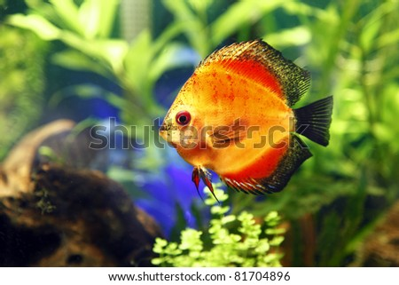 Fire Red Discus Fish. - stock photo