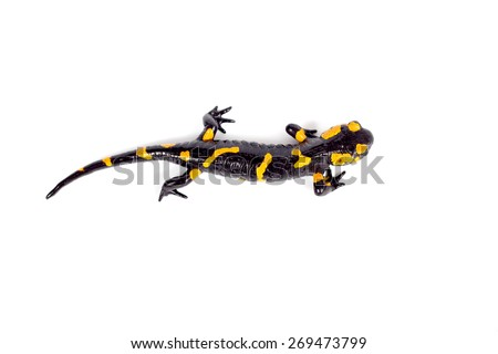 fire salamander bright colored amphibian and poisonous animal on white background - stock photo