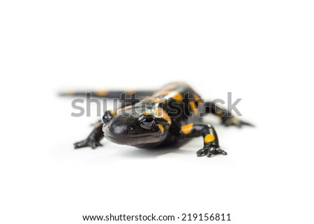 Fire Salamander on a white background - stock photo