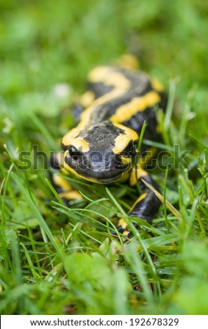 Fire salamander (Salamandra salamandra) - stock photo