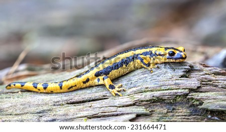 Fire salamander (Salamandra salamandra). - stock photo
