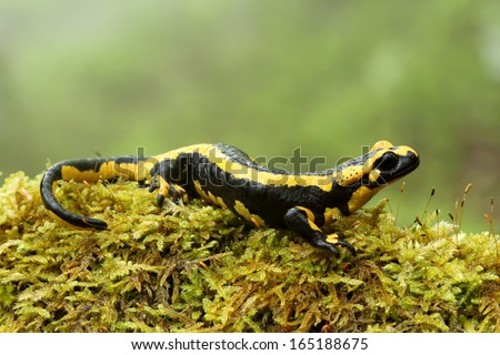 Fire salamander (Salamandra salamandra) in beech forest of Asturias, Spain. - stock photo