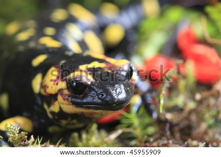 Fire Salamander (Salamandra salamandra) on moss background - stock photo