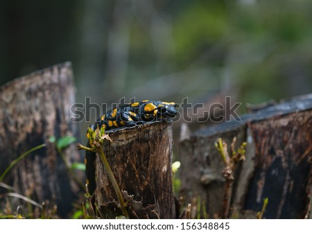 fire salamander with black eyes and toxical skin - stock photo