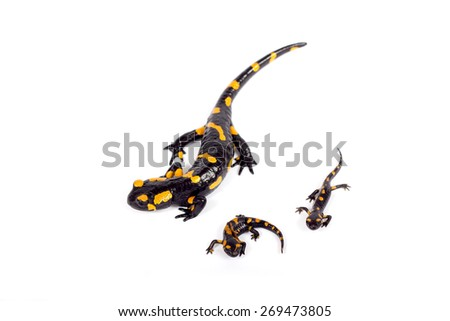 fire salamanders bright colored amphibian and poisonous animal on white background - stock photo