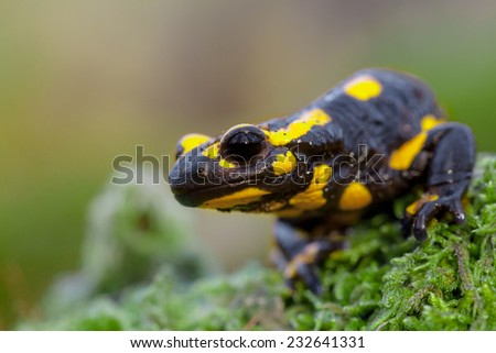 Fire salamanders (Salamandra salamandra) live in central European old deciduous forests and are more common in hilly areas with lots of dead wood. - stock photo