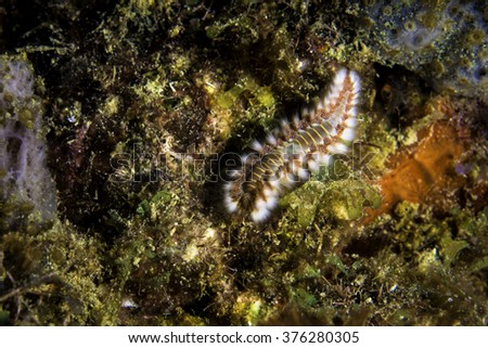 Fire worm feeding on the reef - stock photo