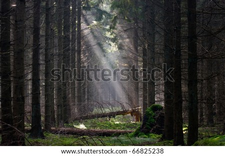 Firebreak with fallen trees in a pine forest, lit by sun rays - stock photo