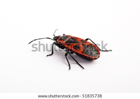 Firebug (Pyrrhocoris apterus), macro on white background - stock photo