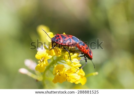 Firebugs at the flowers - reproduction macro photo - stock photo