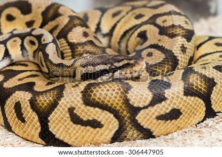 FIREFLY ball python (Python regius) - stock photo
