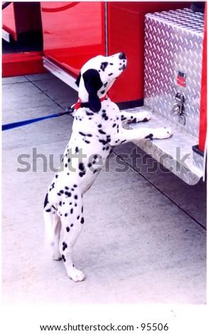 Firehouse Dalmatian - stock photo