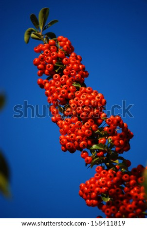 Firethorn The red fruits of firethorn and a blue sky.  - stock photo