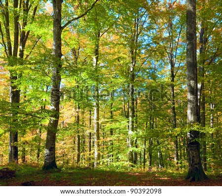 First autumn yellow foliage in sunny beech forest