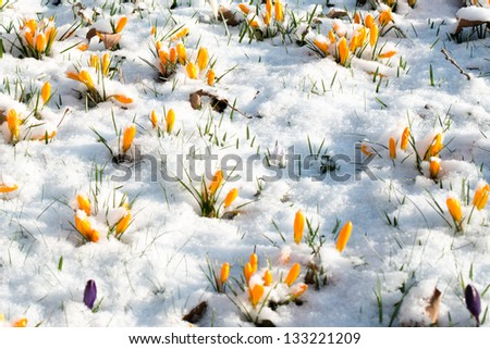 First crocus flowers blooming through the melting snow in the early spring - stock photo