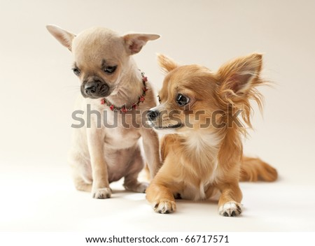 First date, couple of chihuahua puppies on neutral background - stock photo