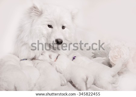 first day puppies for Samoyed dogs and mom - stock photo