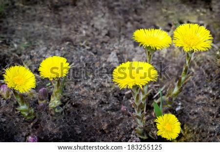 first flowers of coltsfoot