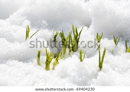 First flowers of spring growing through snow - stock photo