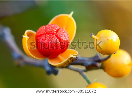 first oriental bittersweet of the autumn season explodes open. colorful yellow and red berries covered in dew on a shallow focus background of browns, greens and yellows - stock photo