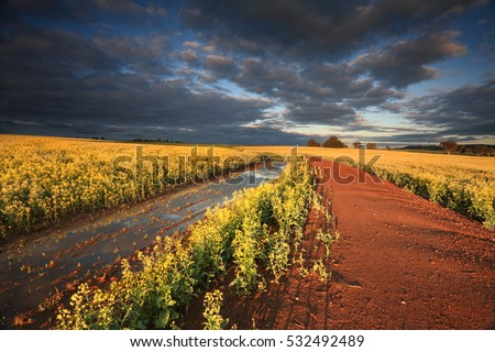 First rays of sun light across Canola crops in Cowra Central West NSW Australia.  Blue and grey moody sky contrasting against the vibrant yellow flowers and red earth