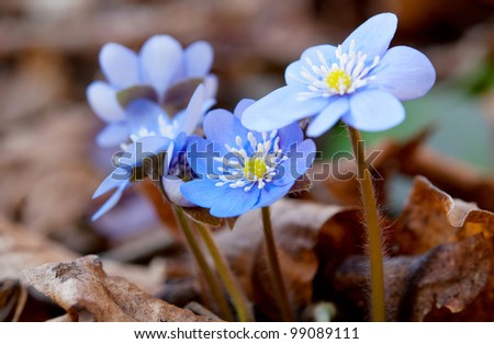 first spring blue flowers in the woods - stock photo