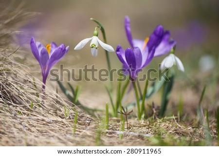 First spring flowers. Flowering snowdrops and crocuses - stock photo