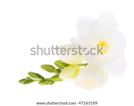 first spring flowers on white background
